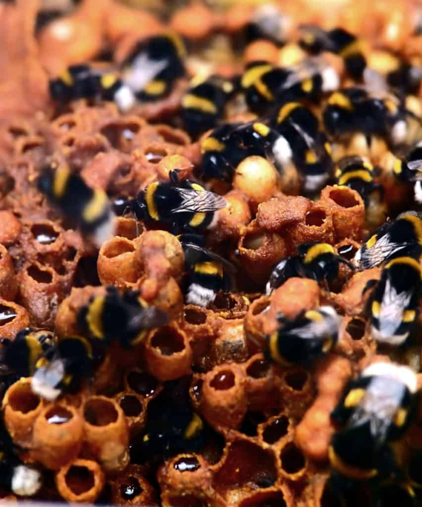 Bumblebee nest structure