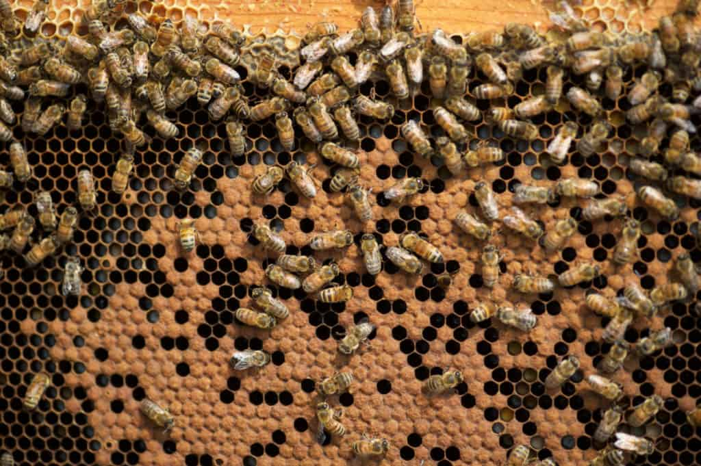 Honey Bees organized brood structure