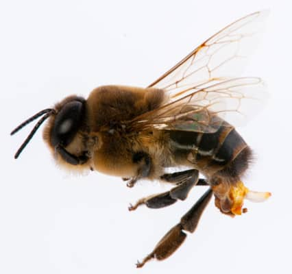 Drone Bee Mating