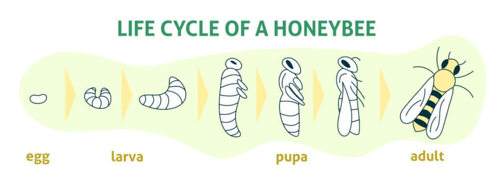 Reproduction Phases of Honey Bees