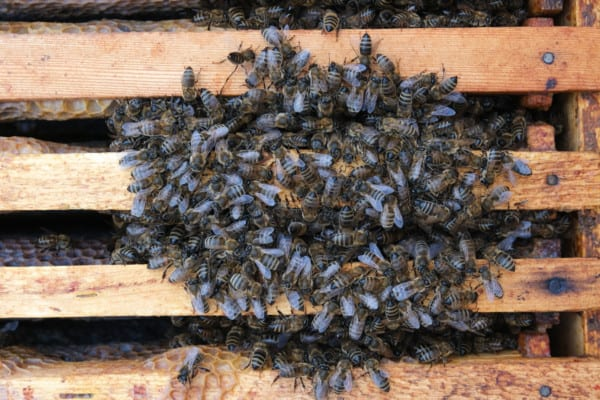 Winter Cluster of Bee in a Hive