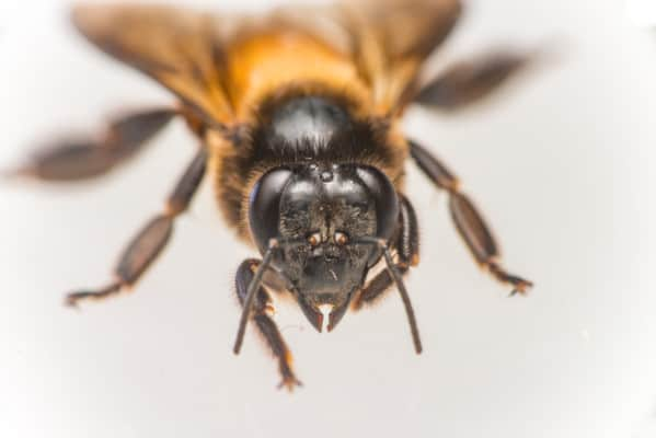 Honey Bee Eyes - 3 Ocelli on top and 2 compound eyes