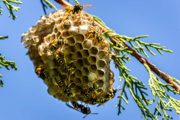 Wasps in a tree