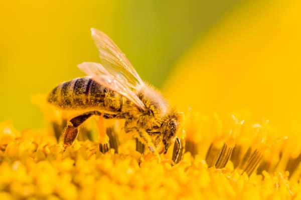 Honey Bee In a Flower Covered In Pollen