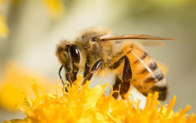 Honey Bee close up in a flower