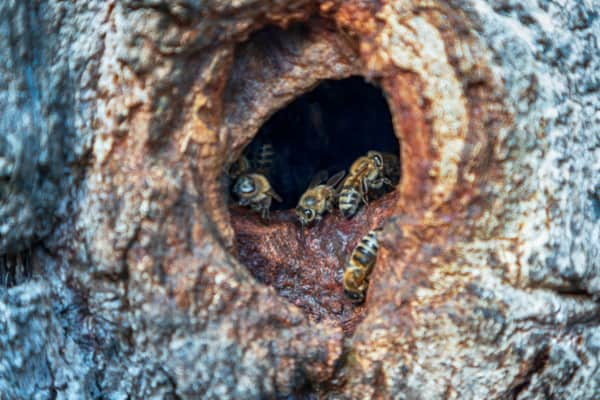 Wild beehive entrance in a hollow tree