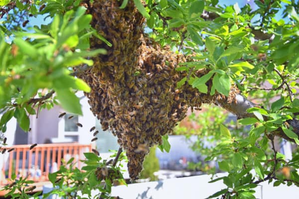 A decent size swarm hanging out in a tree by the house