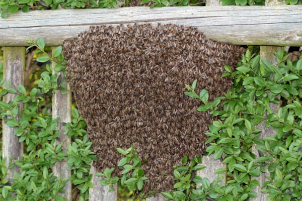 Large swarm of bees