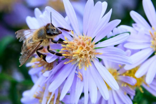Old worker honey bee with damaged wings