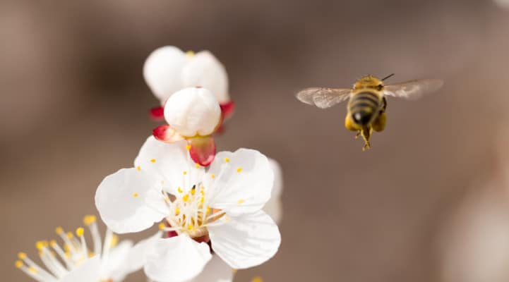The four wings of the honey bee in action