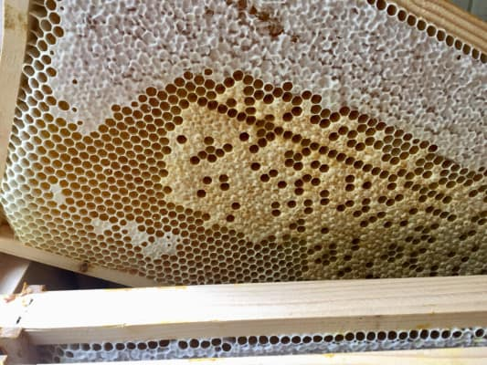 Honey and Brood On The One Frame