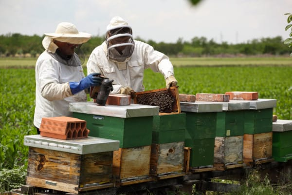 Beekeepers wearing protective gear and using a smoker to calm the bees