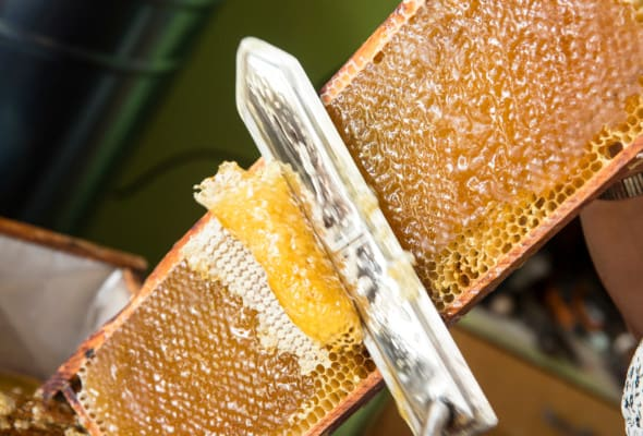 Using a hot knife to uncap a frame of honey