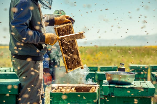 Beekeeper using a brush to remove bees from a frame