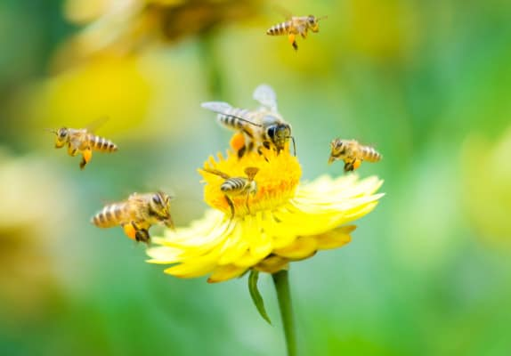Honey Bees all over a yellow flower