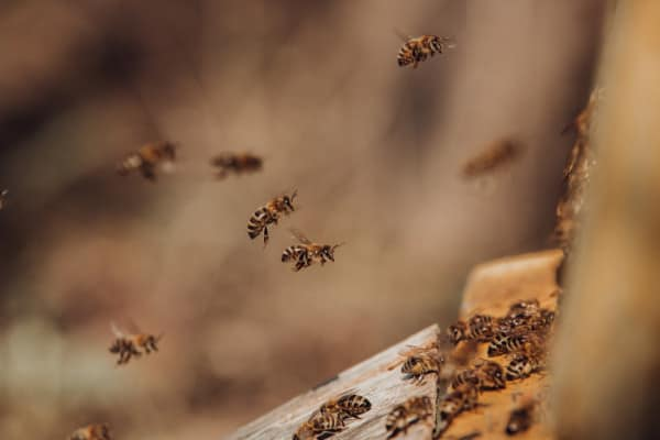 Honey bees flying near their hive