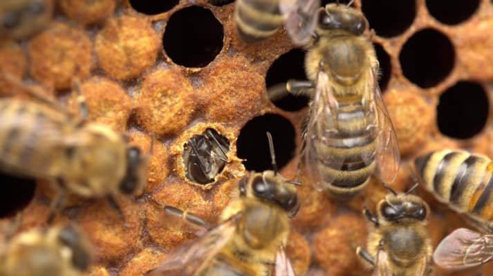 Honey Bee emerging from brood cell