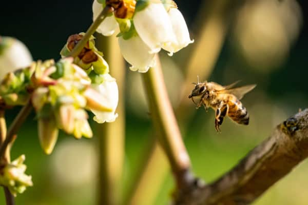 Bee on blueberry blossom