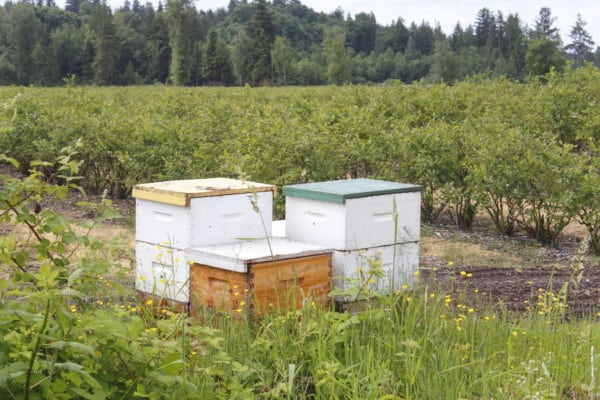 Beehive in a Blueberry farm
