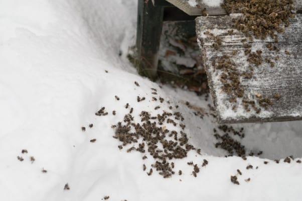 Dead bees outside a hive in winter
