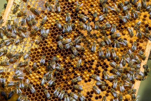 Frame with capped honey, pollen and brood