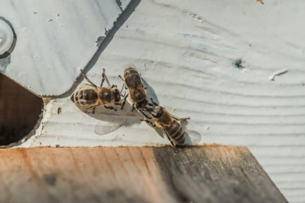 Guard Bees Checking Another Bee Before They Enter The Hive