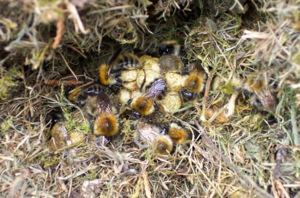 Bumblebee Nest In The Grass