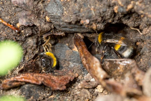 Bumblebee Nest Entrance In the Ground