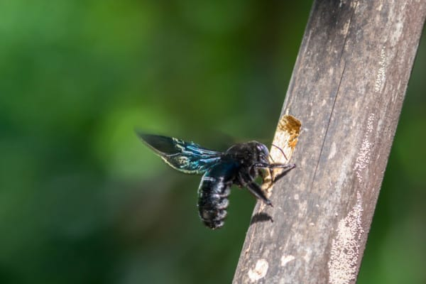 Carpenter bee nest in a tree