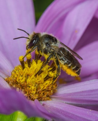 Leaf-cutter bee pollinating flowers