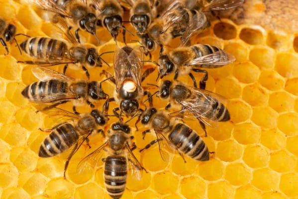 Queen bee being attended to by worker bees