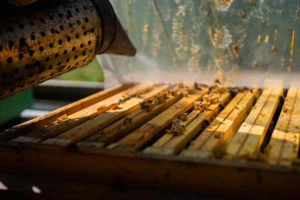 Beekeeper smoking the top of a hive