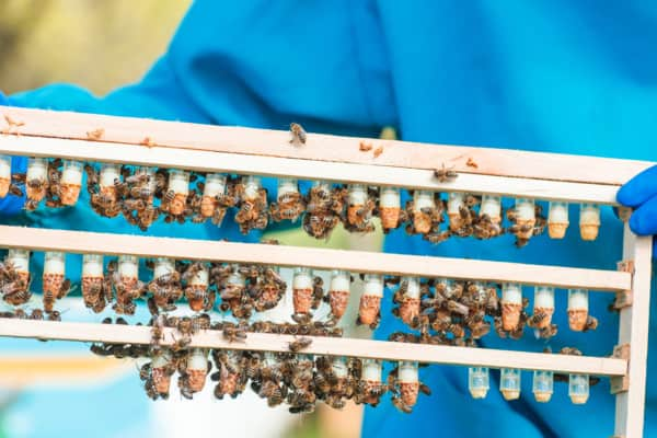 Beekeeper with a frame full of queen cups