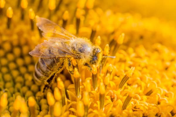 Pollen stuck to the hairs of a honey bees body
