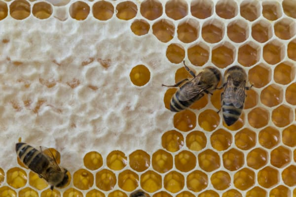 Capped and uncapped honey on a frame