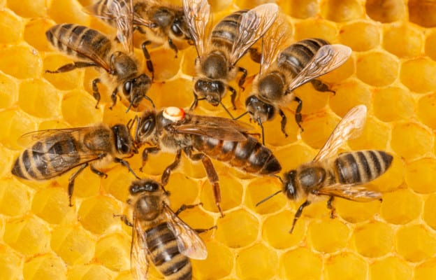 Worker bees feeding a queen bee