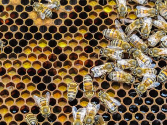 Pollen stored by honey bees in combs