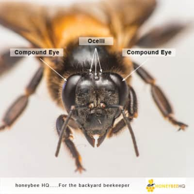 Bee have 5 eyes