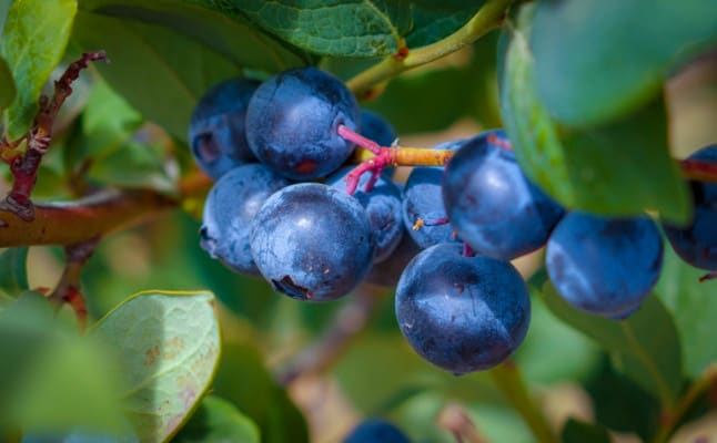 Fresh,Blueberries,On,The,Branch,Of,The,Tree