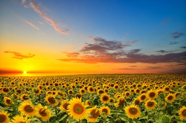 Field,Of,Blooming,Sunflowers